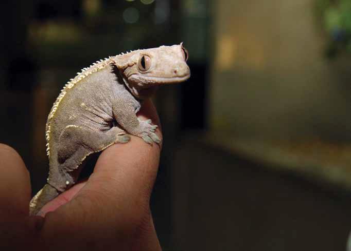 150826_reptiliacrestedgecko