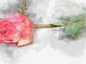 Illustration of a coloured rose lying on its side